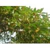 出售大量各种苗木  香樟 栾树 女贞 桂花 。。。