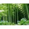 供应竹子等苗木