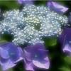 求购八仙花、木槿、黄栌、绣线菊、珍珠梅、黄刺玫、
