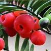 湿地松马尾松江南桤木枫香木荷香樟杜英青枫红豆杉紫微苗罗汉松苗
