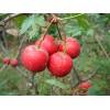 枣树苗、山楂苗、柿子苗、苹果苗、杏树苗、梨树苗