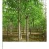 长期大量供应桂花苗,桃苗,银杏树等