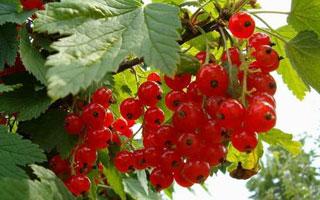 第三代水果-秋福树莓