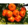 供应特色山楂品种:蒙山香楂(桔红色)