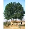 桂花树,杨梅树,檵树,紫薇,香樟,野茶花等各类苗木,大量供应