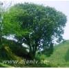 香樟树苗木