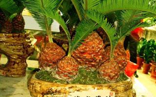 铁树盆景的养殖方法 铁树叶的功效与作用 铁树开花图片