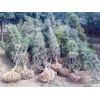 自家苗圃出售樟子松,云杉(青白扦)