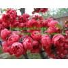 供垂丝海棠、冬红海棠、北美海棠、日本海棠花、绿化苗木