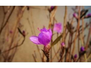 杜鹃干枝图片,神奇的干枝杜鹃花,看似干树枝,插于清水一周后,竟然开花了。 (6)