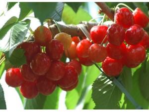小樱桃樱桃图片大全/中国樱桃和中华樱桃树照片 (4)