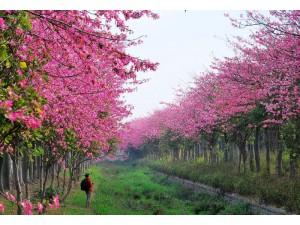 台湾美人树大道图片,台湾粉红大道照片 (10)