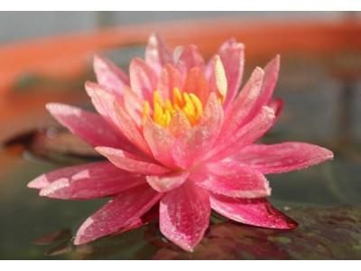 睡莲万维莎开花记录,花期多长,万维莎什么时候才开花?