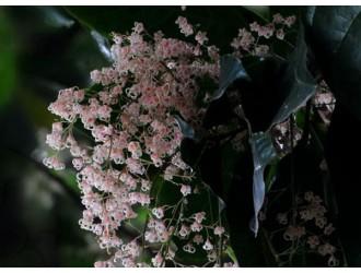 """苹婆树""""九层皮""""树开花多得惊人"""