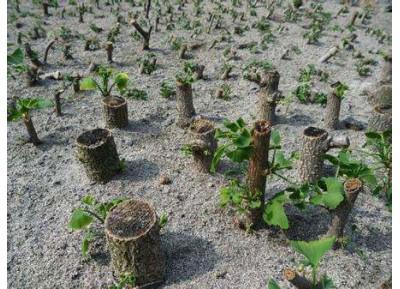银杏树硬枝扦插育苗技术