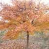 五角枫、红花继木球、花石榴、国槐、红叶石楠球、大叶女贞、香樟