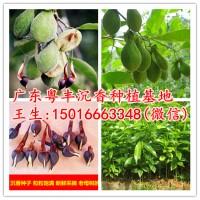 沉香种子价格10元一斤净种90元一斤全国可以快递