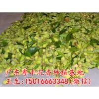 海南沉香种子奇楠沉香种子名贵树种种子价格批发