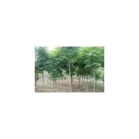 【七叶树价格】、七叶树价格专题-苗圃供求网