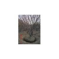 【山西山桃树】-山西山桃树价格报价-春秋园林