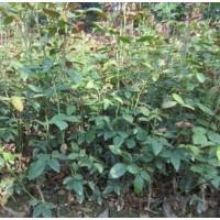 成都供应蔷薇 各规格蔷薇大型苗圃基地最新报价 物美价廉