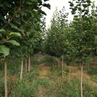 2018成都精品白玉兰树价格优惠  产地发售