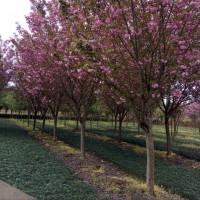 成都樱花照片苗圃供应