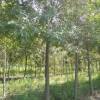 白蜡树出售、4公分5公分6公分白蜡大量出售