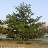 油松出售、3米油松3.5米油松大量出售