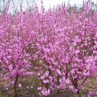 樱花出售、5公分6公分樱花大量出售