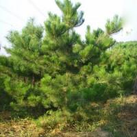 油松出售、2.5米油松3米油松大量出售